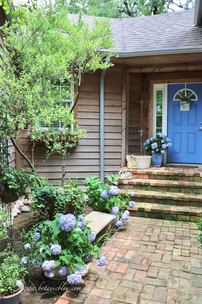 Summer Courtyard Garden with Blue Hydrangeas