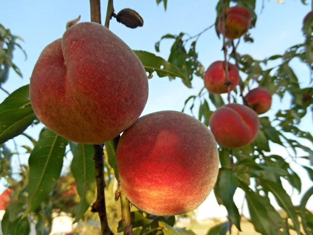 brzoskwinie, owoce, sad, drzewo