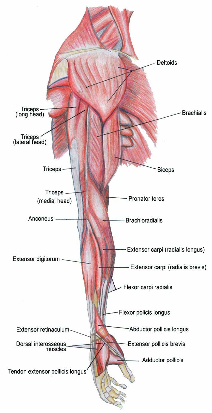 Muscles Of The Human Body Flashcards by ProProfs