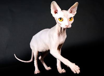 Sejarah Ras Kucing Kohana