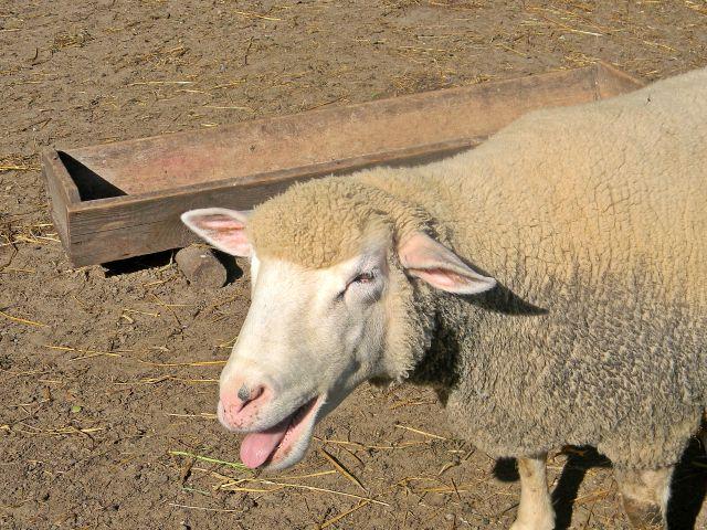 zwierzęta domowe, skansen, Wolsztyn, hodowla