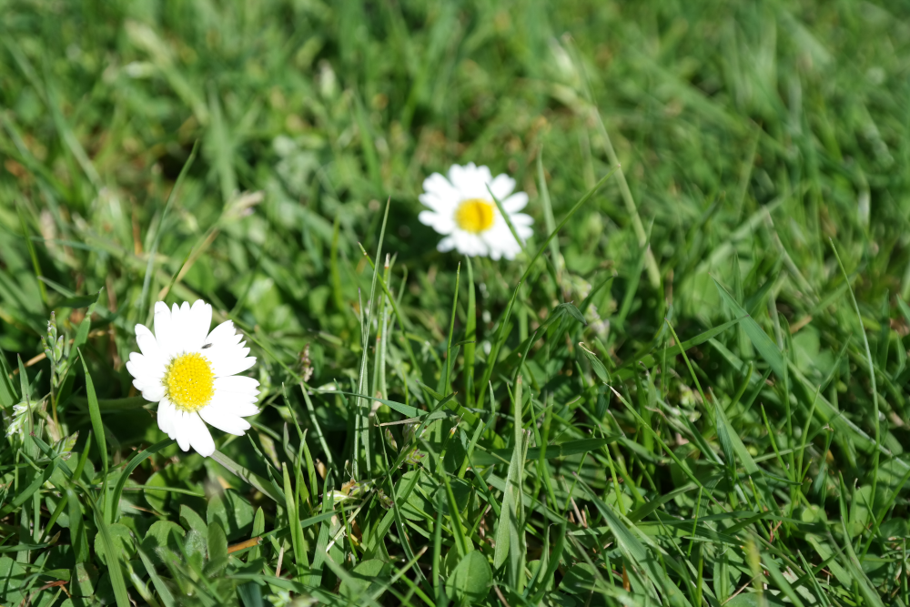 This Little Big Life: Daisies
