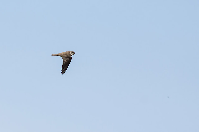 Fly By Sand Martin