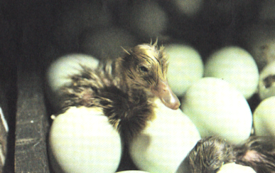 Day Old Duck. Merupakan sebutan umum bagi anakan itik yang baru lahir
