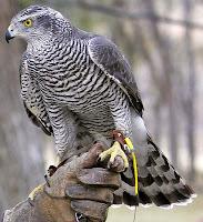 Eğiticisinin eline konmuş olan bir çakırdoğan kuşu