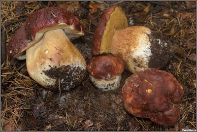 Boletus pinophilus. Detalles de su sombrero, himenio y pie (2)
