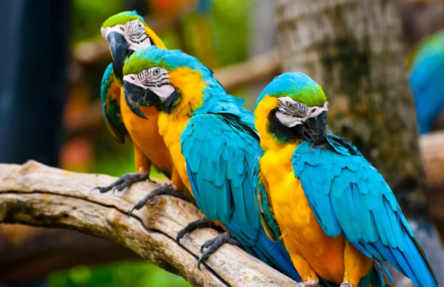 Fakta Paling Menarik Tentang Burung Beo