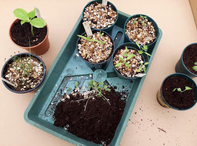 Image shows a green seed tray on a cardboard base.  There is soil and some plant pots of seedlings inside the tray.  On the cardboard are standing some other pots of seedlings.