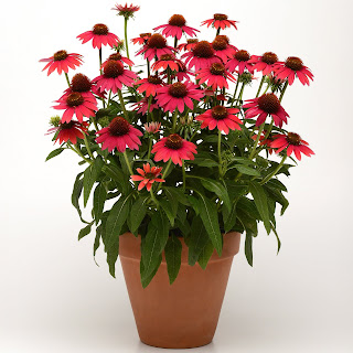 Echinacea plant with red-orange flowers in a clay pot.