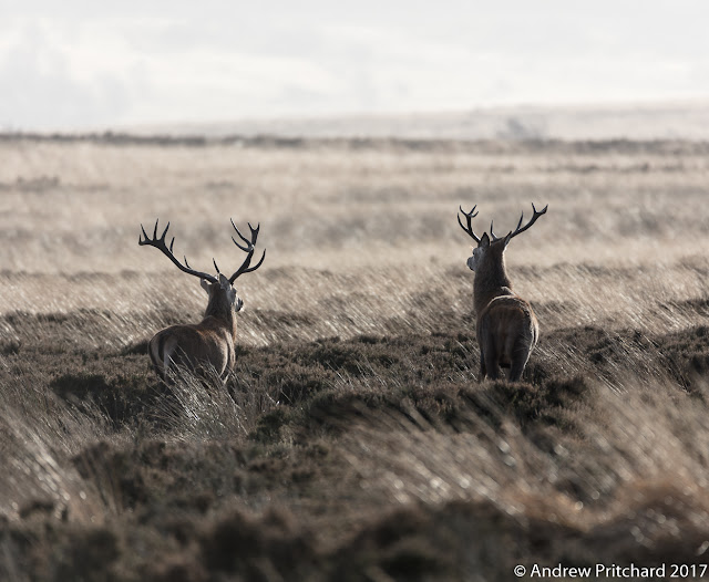 Two stags are walking away across the moor, passing through alternating bands of heather and grass.