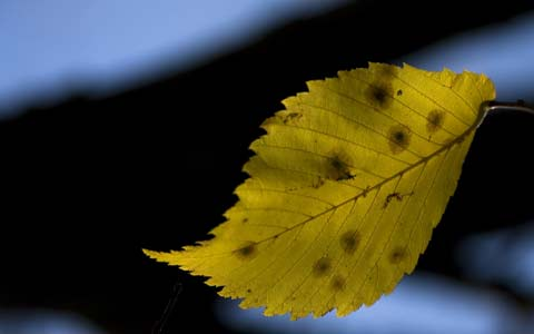 Dutch elm disease symptoms include fast foliage chlorosis and death