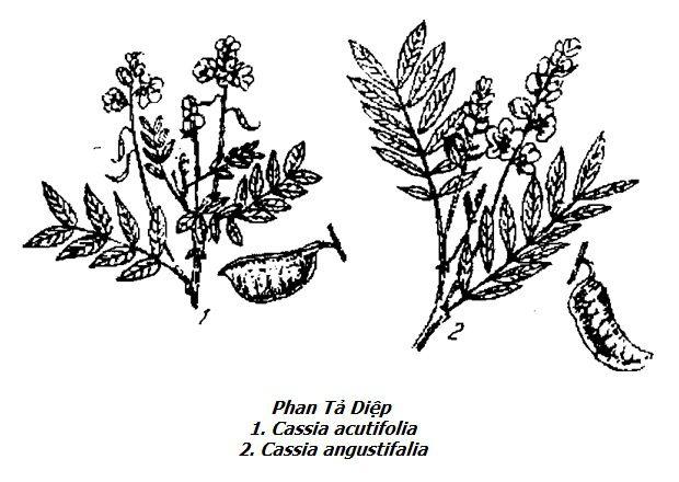 Hình vẽ Phan Tả Diệp - Cassia acutifolia - Cassia angustifalia - Nguyên liệu làm thuốc Nhuận Tràng và Tẩy