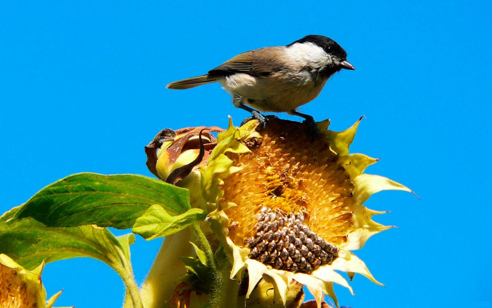 hdhintergrundbilder sonnenblumen vogel herbst bilder