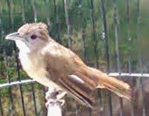 Tips Dan Trik Mudah Membedakan Burung Kapas Tembak Jantan Dan Betina Planet Kicau