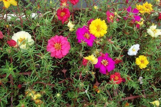 Moss rose tanaman yang beracu bila di konsumsi