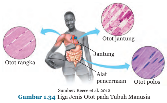 Gambar 1.34 Tiga Jenis Otot pada Tubuh Manusia