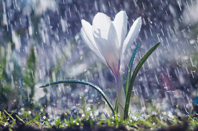 Close-up of a white crocus flower in the rain