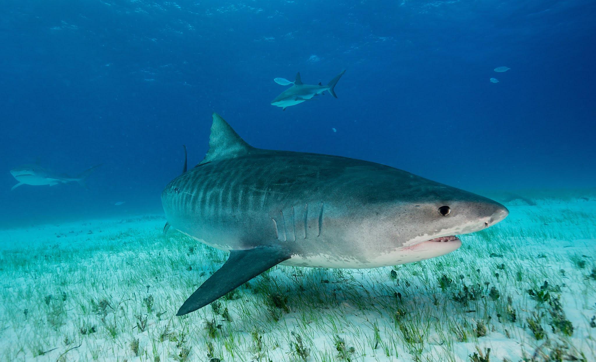 El viaje de una tiburón tigre que revela un asombroso hallazgo sobre la vida marina