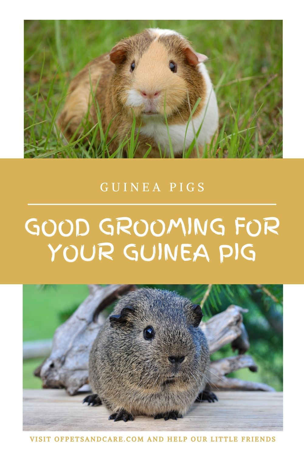 Good Grooming for Your Guinea Pig,
