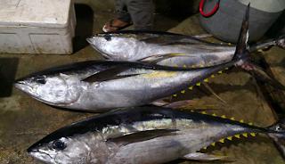 Konsumsi Ikan Tuna, Yuk !, RTH, Rumah Terapi Herbal