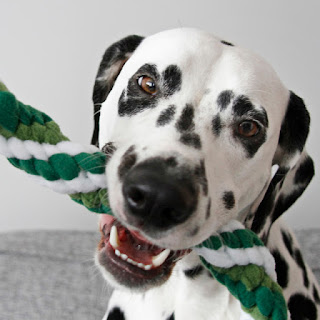 Dalmatian dog playing with woven fleece tug toy