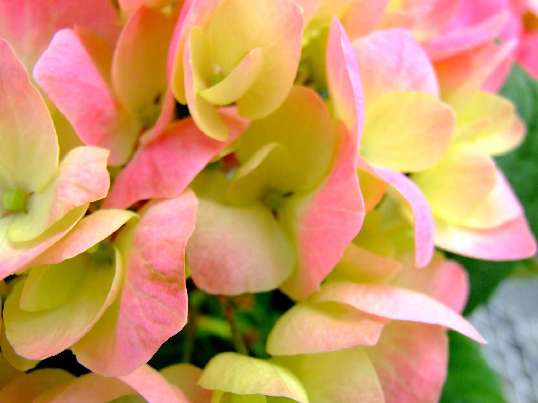 ピンクと黄色のグラデーションがキレイなガクアジサイのドアップの写真素材です。淡くて優しい雰囲気が良いですよね。梅雨の時期のブログ記事などにどうぞ。