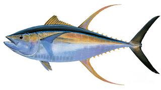 Manfaat dan Kandungan Gizi Dari Ikan Tuna  Manfaat dan Kandungan Gizi Dari Ikan Tuna