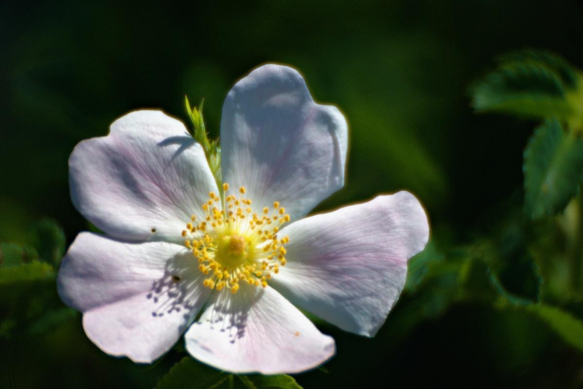 Hagebuttenblüten