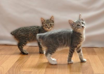 Cara Merawat Ras Kucing Manx