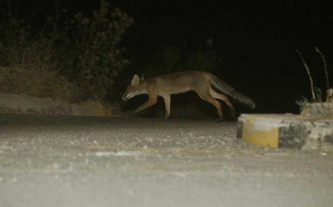 Θράκη: Ξεκινούν οι ρίψεις εμβολιακών δολωμάτων για τη λύσσα των κόκκινων αλεπούδων