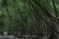 Rimbunnya Hutan Mangrove Bali