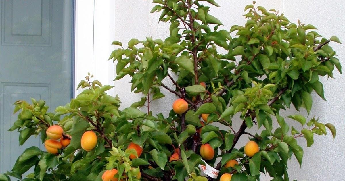Am nager sa terrasse ou son balcon penser aux fruitiers nains et colonnaires les carnets - Quand tailler les abricotiers ...