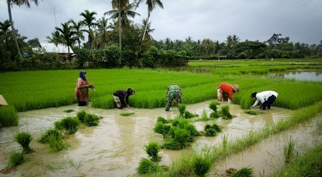 Minggu Pagi, Babinsa Ramil Bantu Petani Mencabut Bibit Padi