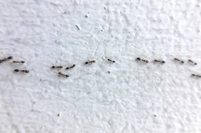 Ant Infestation in Your Home