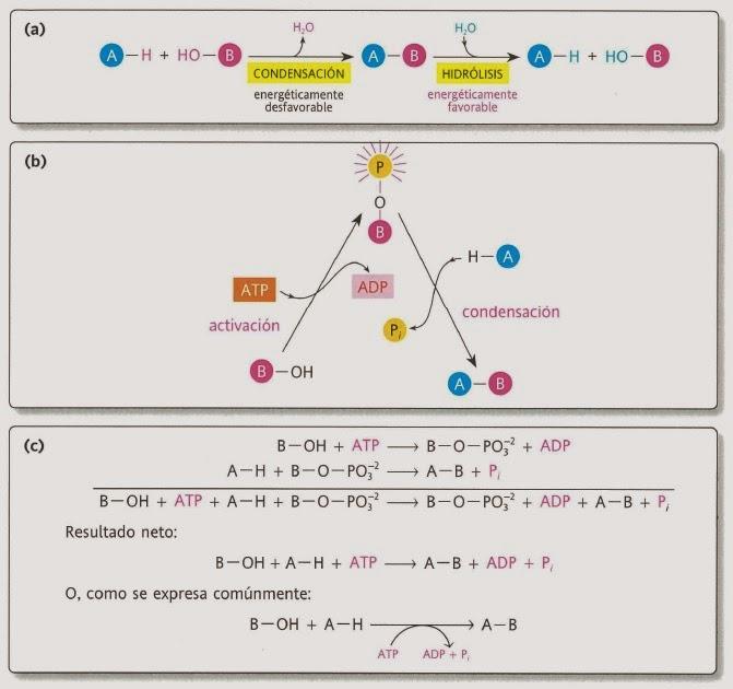 Introducción al metabolismo - Apuntes de Bioquímica