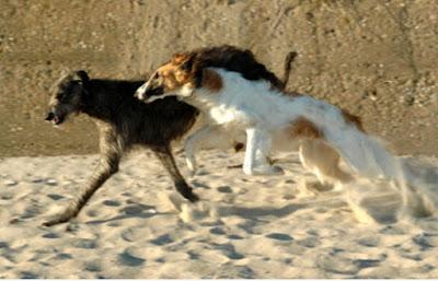 Yang terkena dampak Canines di Southbridge dan Pomfret