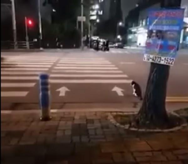 Gato espera a que el semaforo se ponga verde para cruzar las calles (VIDEO)