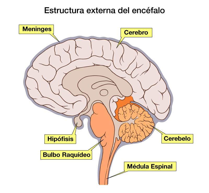 Mesencefalo configuracion interna pdf creator