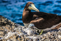 Brown booby with chick, Pernambuco, Brazil, by Canindé Soares, June 24, 2017