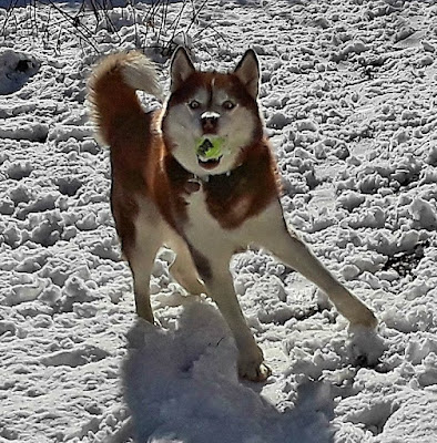 Dogs playing in the snow.  Pet bloggers, Dog bloggers, blog hops