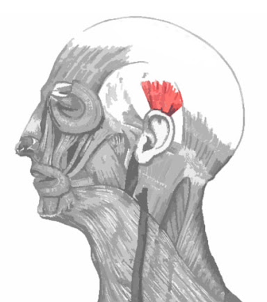 Imagen resaltada del músculo auricular superior