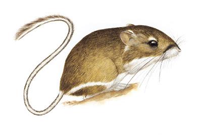 Stephen´s Kangaroo Rat