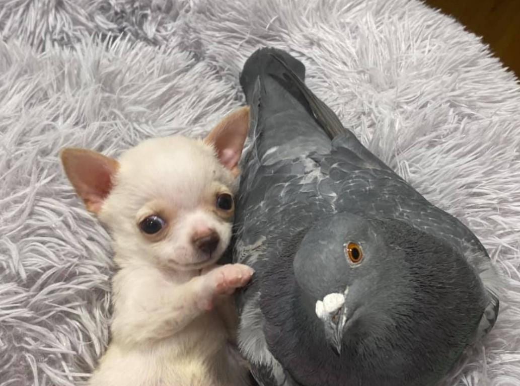 Pigeon, Chihuahua
