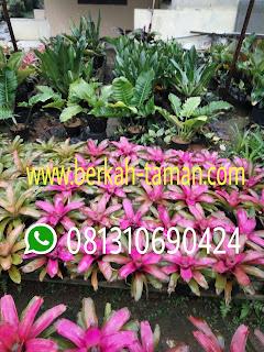 Bromelia pink Deborah