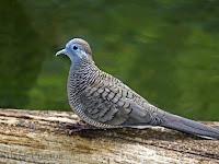 Panduan Lengkap Ternak Burung Perkutut