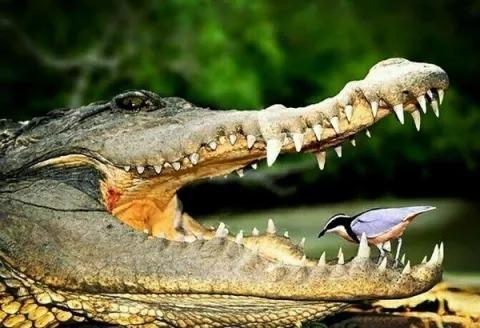 यह पक्षी मगरमच्छ के मुँह से भी कर सकता है खाना प्राप्त ,जानें इस बारे में