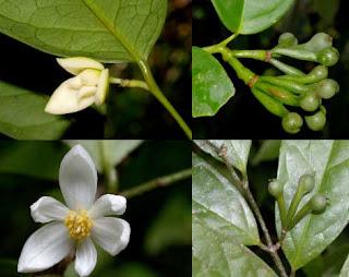พรรณไม้ สกุลจำปูน ที่พบในประเทศไทย