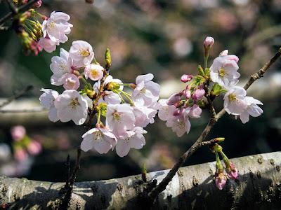 cherry blossoms, Kencho-ji