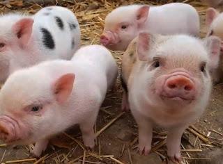 Lợn con đẻ được bao nhiêu ngày thì cai sữa được?