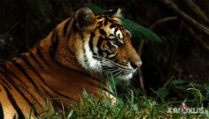 Hewan buas yang ada di Indonesia - Harimau Sumatera